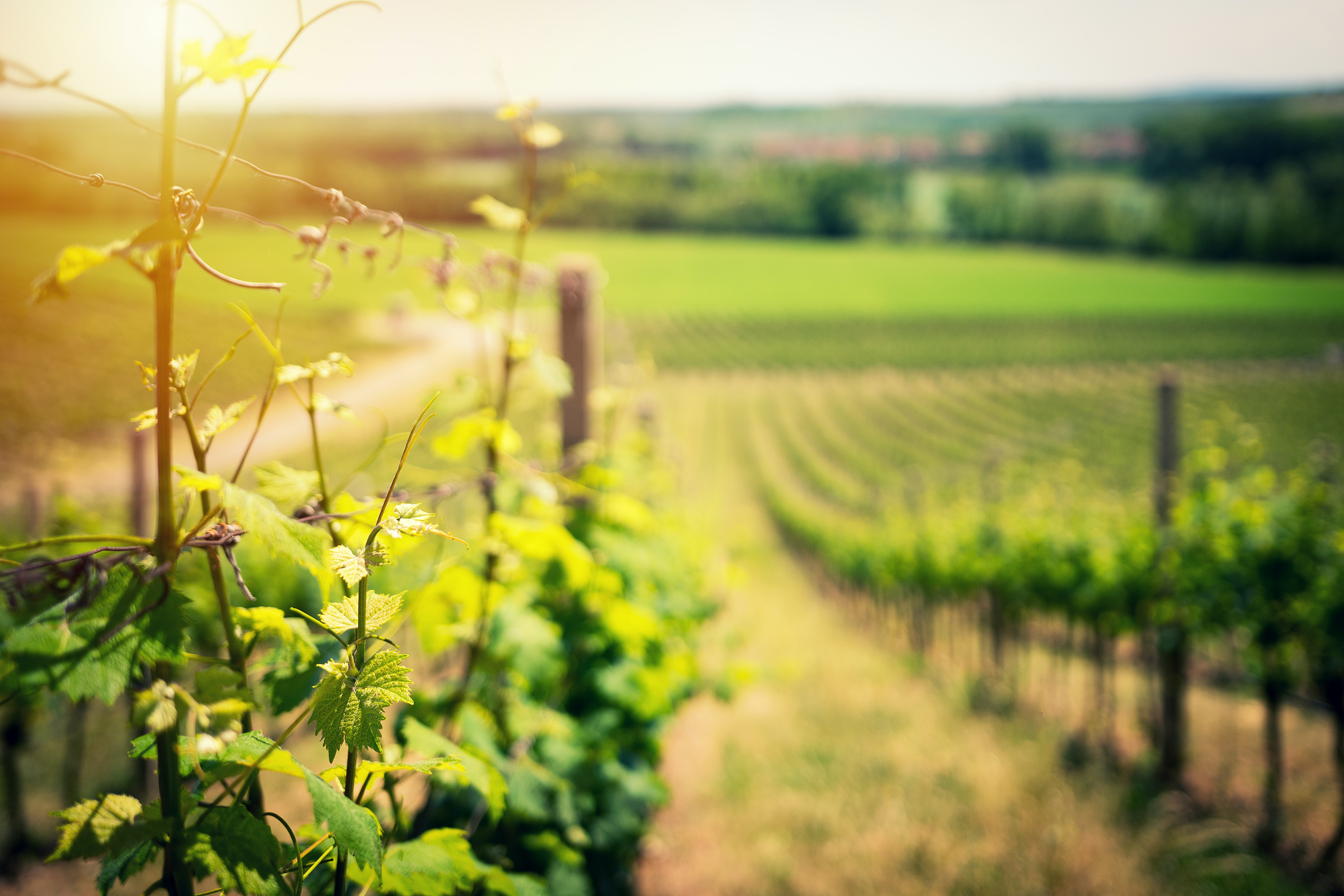 vignes du chateau de viviers - chablis - winery, green fields of vines